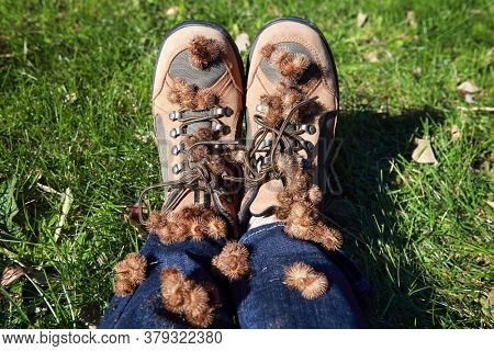 Burdock burrs stuck on hiking boots after walking outdoors