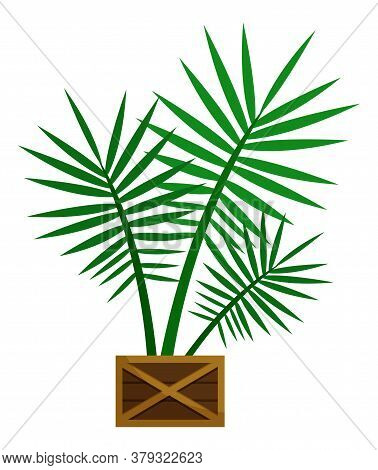 Plant, Sapling With Big Green Leaves In Pot. Palm That Grown Indoor In Potting Soil. Isolated Object