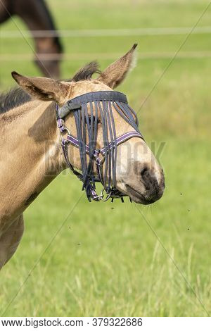 A Falcon Color Foal In The Field, Wearing A Fly Mask, Shaking His Head, Pasture, Horse
