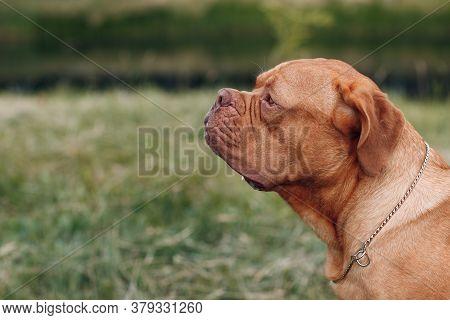 Portrait Profile Dogue De Bordeaux. Dog Mastiff Pet.