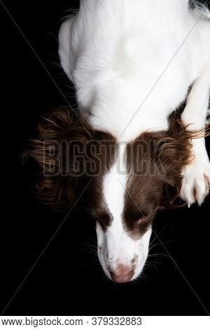 White and Brown Cocker spaniel portrait in studio