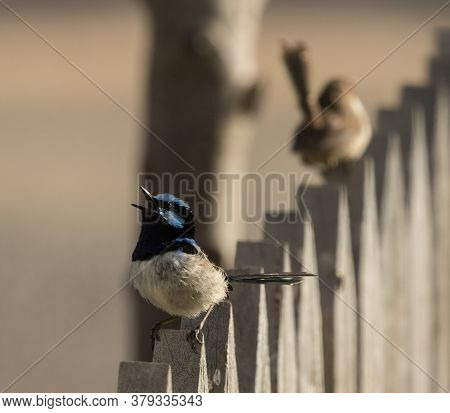 A Small Superb Fairy Wren Singing For His Partner