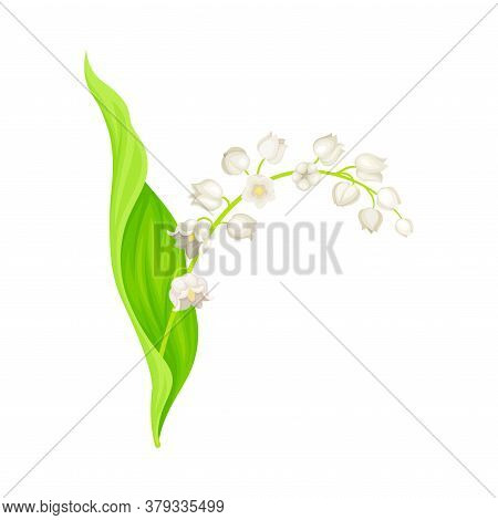 Lily Of The Valley Or May Bells With Oblong Green Leaf And Pendent Bell-shaped White Flowers Vector