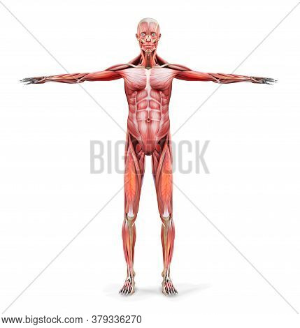 Muscles Of A Man. Human Anatomy. Vector Illustration.