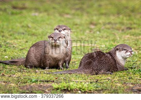 Oriental small-clawed otter, Aonyx cinereus, against green grass background. A semiaquatic mammal, indigenous to South and Southeast Asia, and the smallest otter in the world.