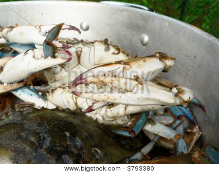 blue crabs from the Chesapeake Bay of Maryland cooking in a pot outdoors poster