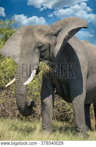 close up of an African elephant with big tusks eating some grass  in the African bush