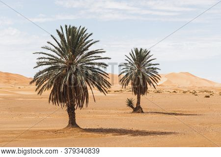 Beautiful Desert Landscape With Sand Dunes And Two Palm Trees. Travel In Morocco, Sahara, Merzouga.