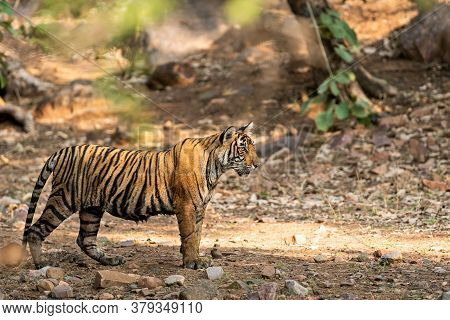 Wild Female Tiger T106 Of Ranthambore Shifted To Mukundra Hills Tiger Reserve Numbered As Mt2 Become