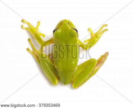 Green tree frog isolated on white background.