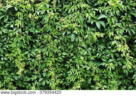 Climber Plant Background. Creeper Plant Texture. Gedge Bush Pattern. Green Natural Summer Wall. Home