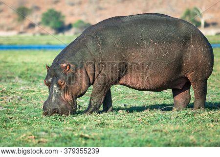 Hippo Grazing At River Bank. Chobe National Park