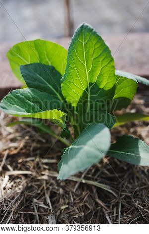 Cauliflower Plant Outdoor In Sunny Vegetable Garden Shot At Shallow Depth Of Field