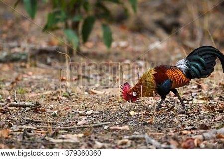 Red Junglefowl Or Gallus Gallus Colorful Bird During Safari At Kanha National Park Or Tiger Reserve