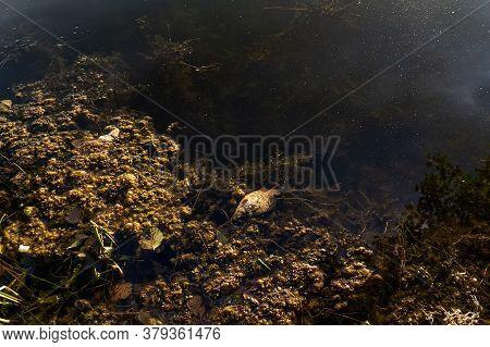 Dead Fish In A Muddy Lake. Pestilence Of Fish.