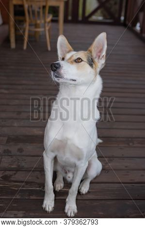 Full Body Portrait Of Young Cross-breed Of Hunting And Northern White Dog Looking Up While Sitting O