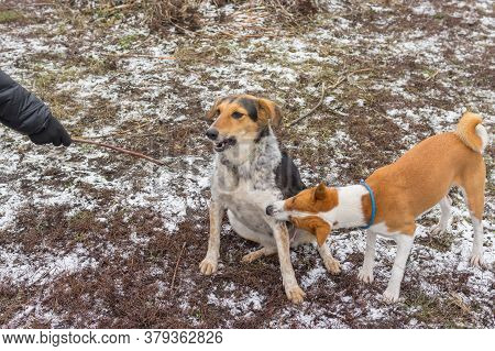Basenji Male Dog Bites Mixed Breed Female Dog On Ther Paw While Playing Outdoors On An Autumnal Grou