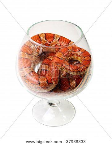 Corn Snake In A Glass On The White Background (elaphe Guttata)