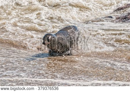 A Cape Fur Seal, Arctocephalus Pusillus, Coming Out Of The Ocean At Cape Cross In Namibia