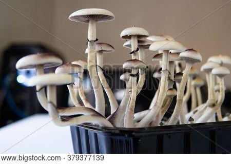 Fungi Hallucinogen. Growing Albino A Strain.psilocybin Cubensis Mushroom.