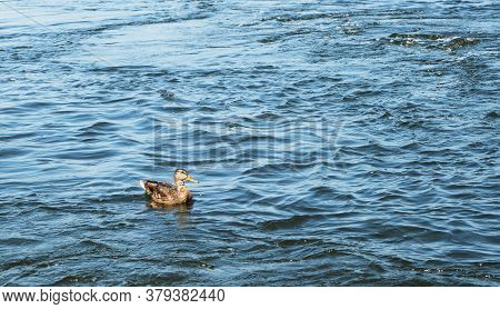 Lone Duck Swims In The River With A Strong Current