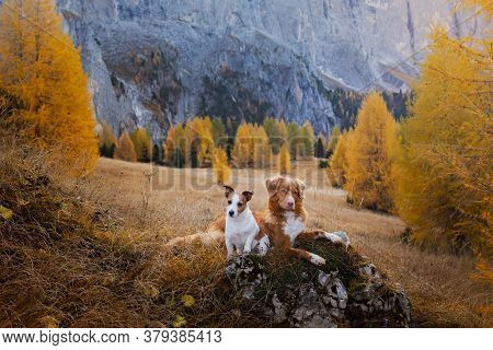 Two Small And Big Dogs At Autumn Mountain . Nova Scotia Retriever And Jack Russell Terrier Together