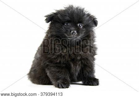 Pomeranian Puppy Spitz, Isolated. Cute Black Pomeranian, White Background. Family Friendly Tiny Spit