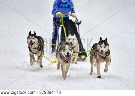 Husky Sled Dog Racing. Winter Dog Sport Sled Team Competition. Siberian Husky Dogs Pull Sled With Mu