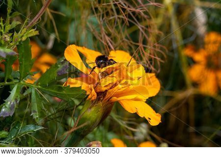 Closeup Picture Of A Bumblebee On A Yellow Flower. Picture From Copenhagen, The Capital Of Denmark
