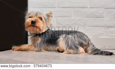 The Yorkshire Terrier Is Lying On The Quartz Vinyl Floor. And Waits For The Master, Watching Uplittl