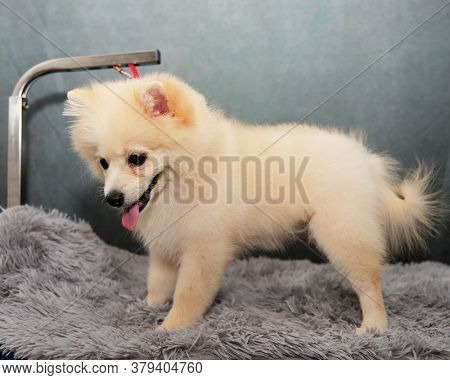 Cute Pet, Pomeranian Spitz Stands On The Grooming Table. For Control The Dog Is Tied To The Table Wi
