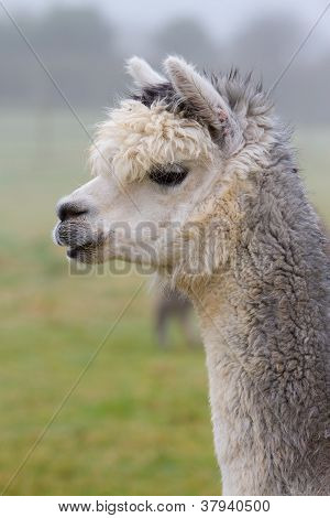 An Alpaca in profile.  An alpaca resembles a small llama in appearance and their wool is used for making knitted and woven items such as blankets, sweaters, hats, gloves and scarves poster