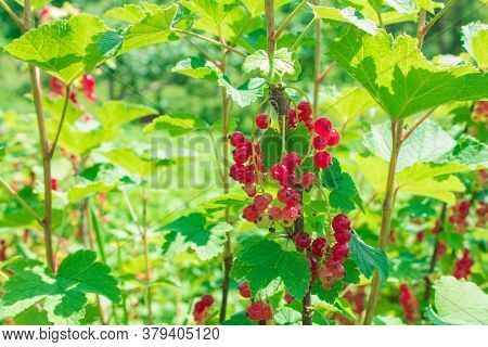 Ripe Currants On The Bush. Red Currants In The Garden, Summer Harvest. Red Ripe Juicy Currant On The