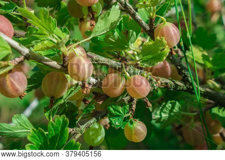 Fresh Green Gooseberries. Growing Organic Berries Closeup On A Branch Of Gooseberry Bush. Ripe Goose