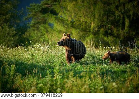 Brown Bear Family In The Grass In The Meadow
