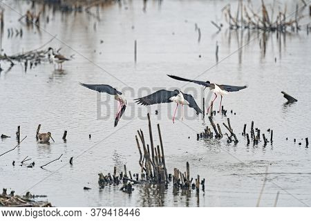 Black Necked Stilts Coming In For A Landing In Anahuac National Wildlife Refuge In Texas