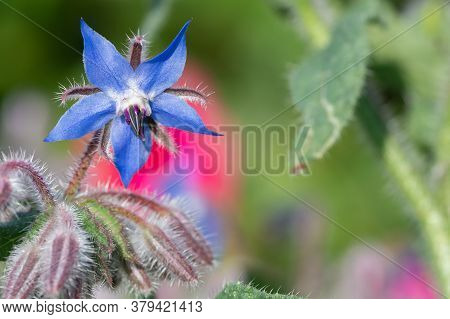 Borage (borago Officinalis) Flower