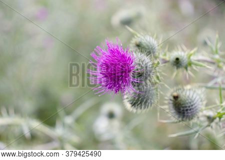 Purple Thistle Flower And Prickly Buds. Cirsium Flowering Plant,aster Family, Asteraceae.