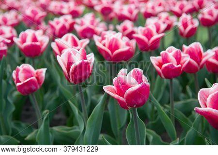 Spring Season. Gardening Concept. Grow Flowers Garden. Varietal Red And White Tulips. Grow Flowers I