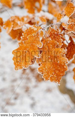 Amazing Orange Oak Tree Leaves Covered By Frost Close Up Photo. Winter Forest And Nature Atmosphere.