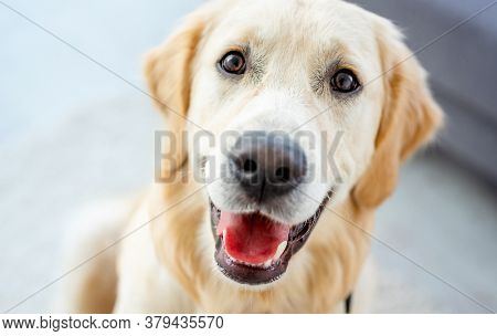 Close up view of nice muzzle of golden retriever indoors