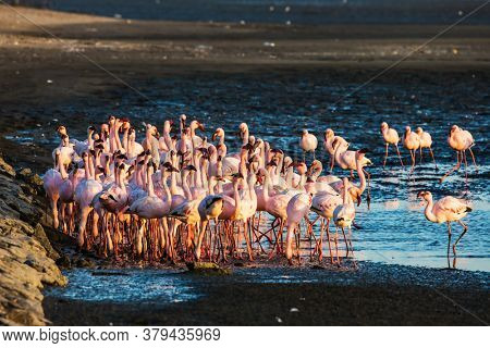 Huge colony of pink flamingos. Namibia. Interesting and useful birdwatching. Gorgeous birds feed in the shallow water of the Swakopmund. Ecological, active, zoological and photo tourism concept