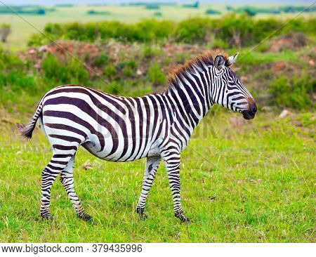 Safari in Kenya. Charming young zebra graze on the green grass. Magnificent trip to the African savannah. Ecological, active and phototourism concept