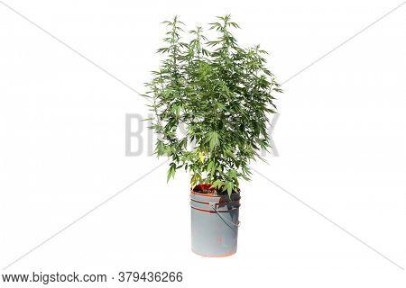 Marijuana. Cannabis. Cannabis Indica. Cannabis Sativa. Marijuana Leaf. Isolated on white. Room for text. Male Marijuana Plant in a 5 gallon bucket with Pollen Sacks.