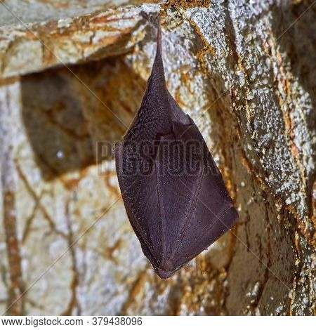 Lesser horseshoe bat (Rhinolophus hipposideros) body close up. A rare bat hanging from rock in the cave