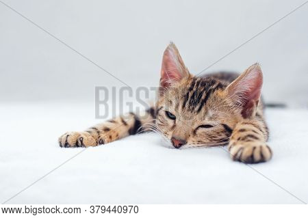 Little Bengal Kitty Laying On The White Background.