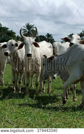 Itamaraju, Bahia / Brazil - April 24, 2011: Cattle Are Seen In Pasture Of Livestock Farm In The City