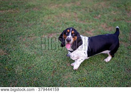 Cute Basset Hound With Long Ears Standing On Grass
