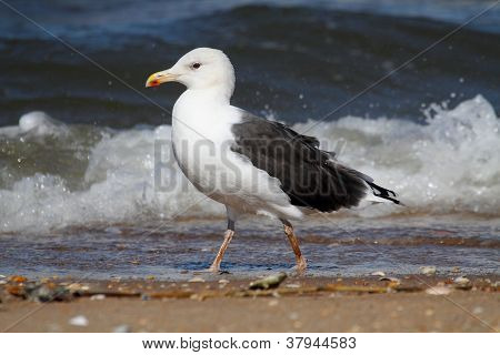 Adult Greater Black-backed Gull By The Ocean