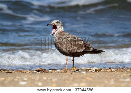 Juvenile Greater Black-backed Gull (Larus marinus) calling by the Atlantic Ocean poster